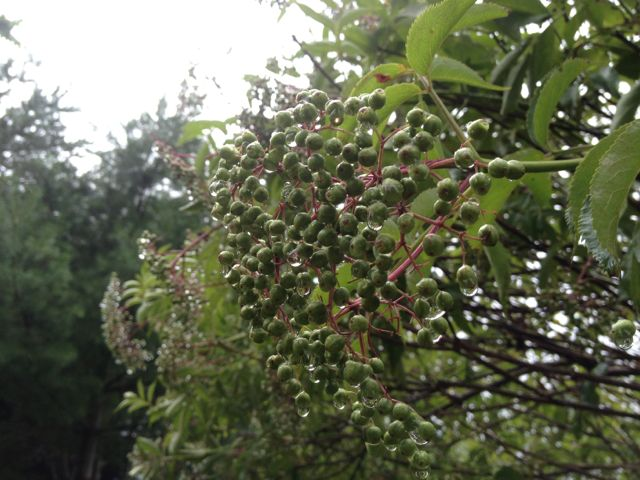 Elderberries after the rain