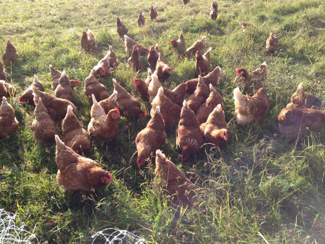Hens loving a new bit of pasture