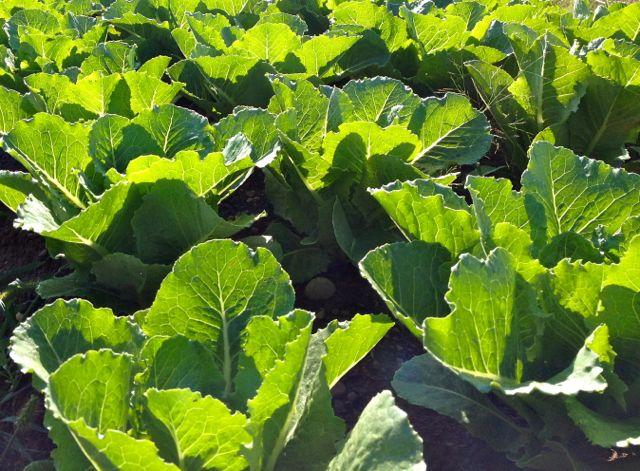 lettuce15