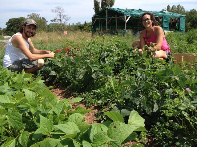 Moonfire Farm crew picking beans