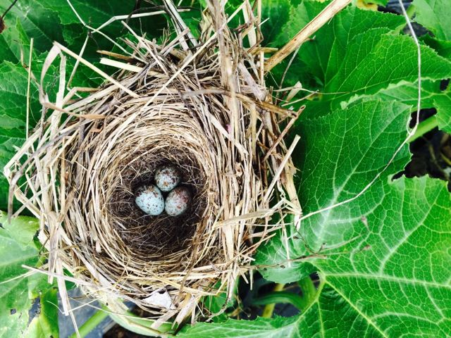 Peter took this photo of a nest in the squash