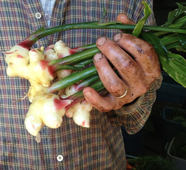 First ginger harvest, 2014