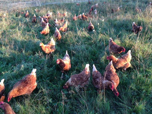 Hens going after bugs in a new section of pasture.