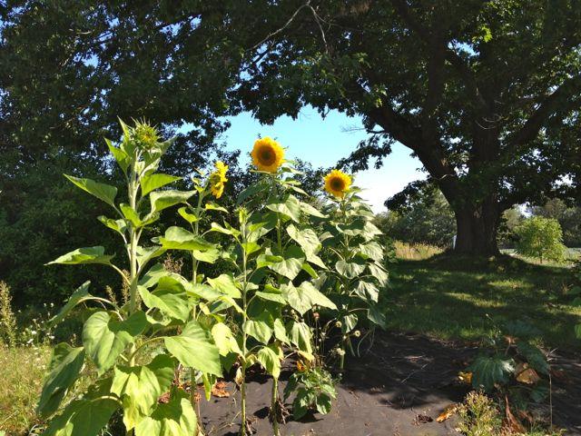 sunflowers16
