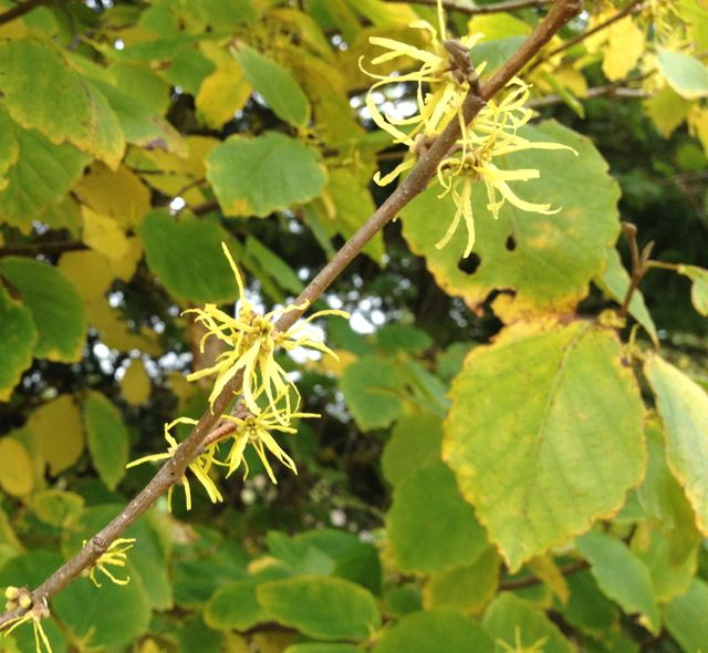 Wild witch hazel blooming in October.  Amazing remedy for burns.