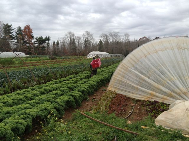 Benjamin harvesting for a wholesale order
