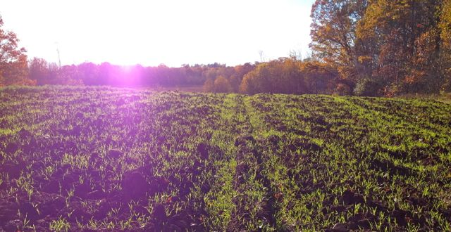 Cover crop after potatoes