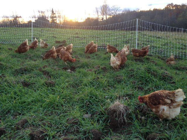 The hens are totally stoked about the new ground we gave them.