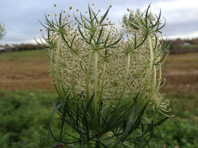 Wild carrot trying to look casual in the carrot field