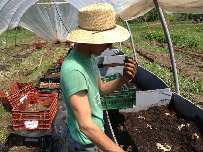 Planting ginger root sprouts