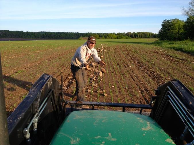 Rock-picking, Caseydale Farm