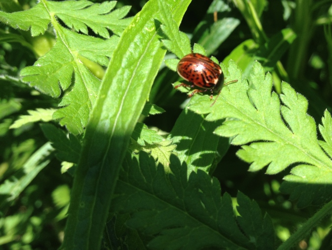 Another fancy-pants beetle.  I hope it is not a pest!