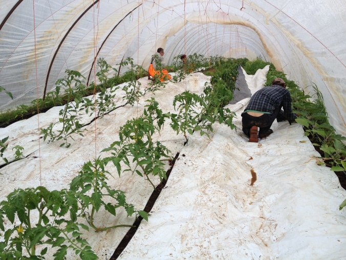 Laying white plastic mulch between tomatoes, eggplants, and peppers