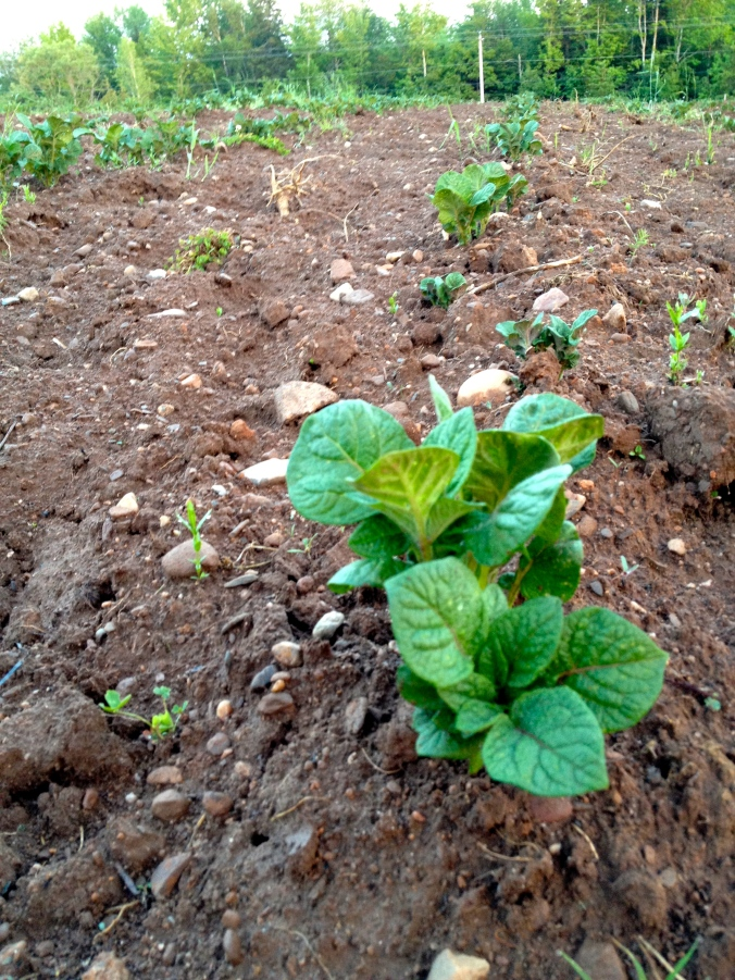 Potatoes pushing through the soil