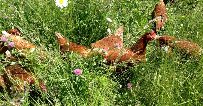 Pasture happiness, laying hen style