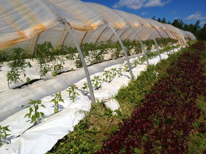 Peppers, tomatoes, and eggplant in a hoop house with white plastic mulch