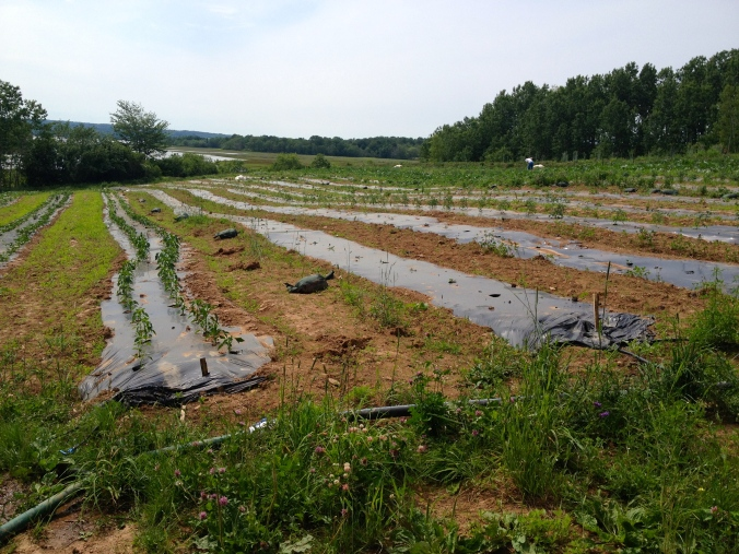 Fox field, after lifting the row cover