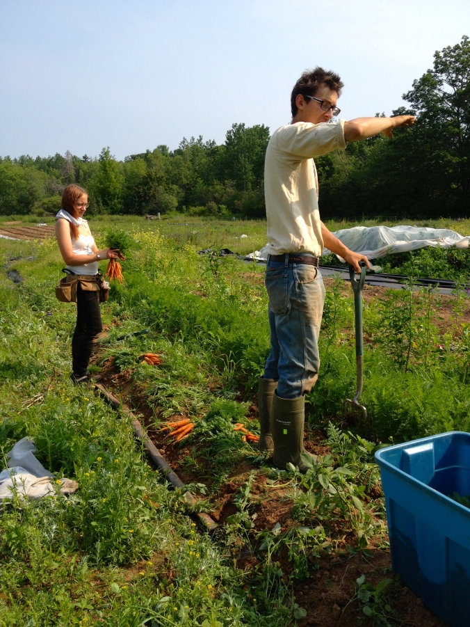 Harvesting carrots.  We won't have any in the pack for another couple of weeks, when the next planting is ready.