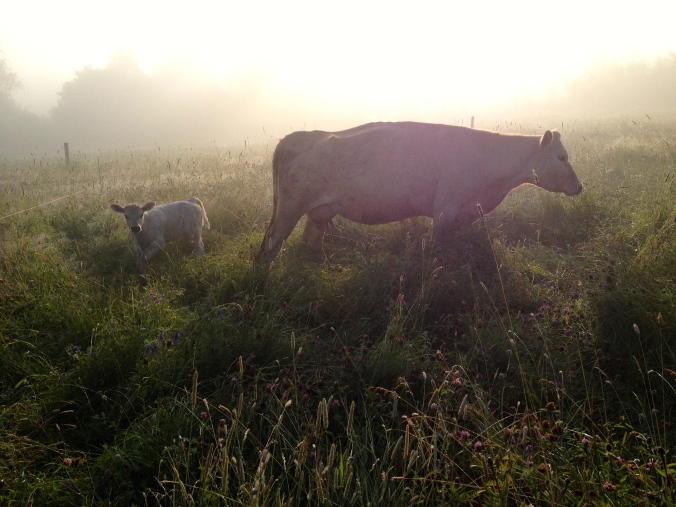 Calf and mom in early morning.  Now I think it is a female!