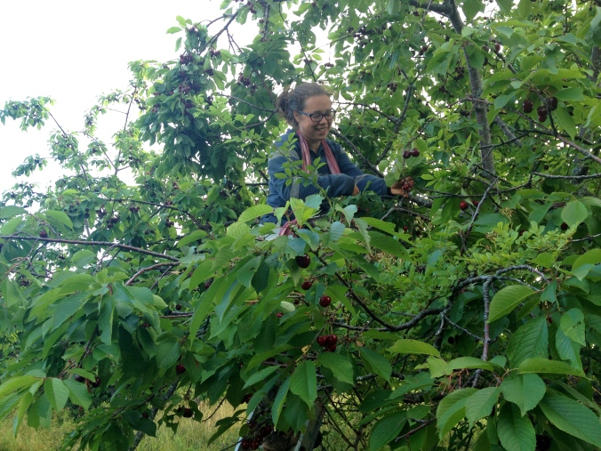 Alice picking cherries way up in the tree