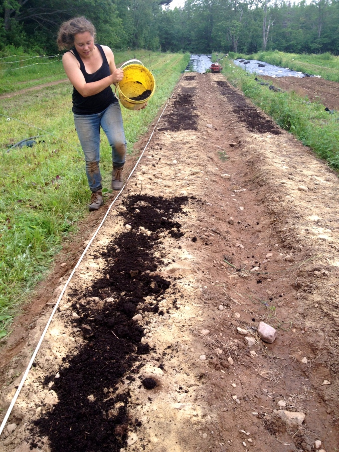 Alice setting up her trial comparing different composts, crab meal, and control, on a spinach crop