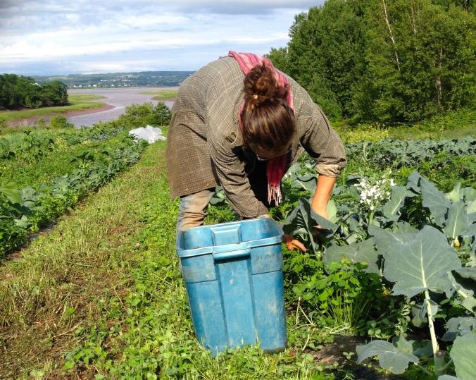Alice harvesting