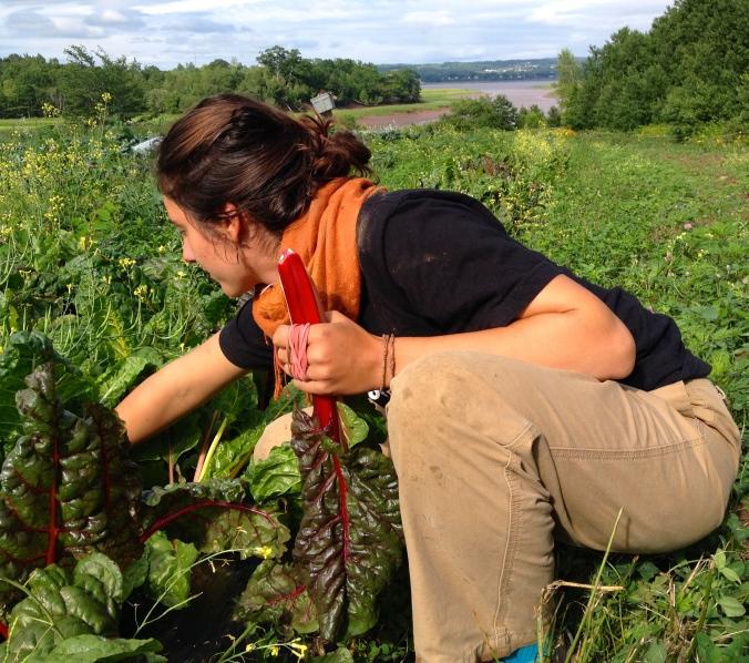 Isabeau harvesting