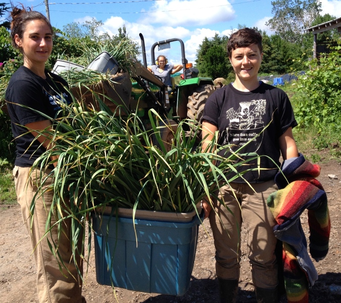 Isabeau, Alice, and Eliza bringing in the garlic harvest