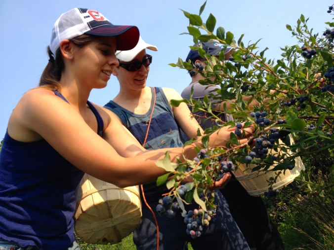 The blueberry picking continues. Even customers are coming out for equipick!