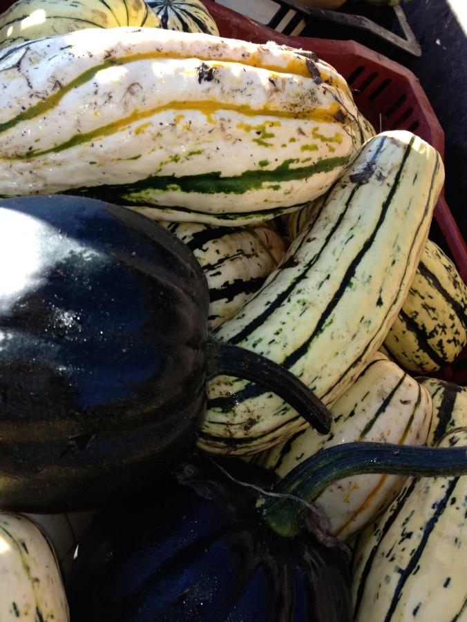 Ever popular delicata squash