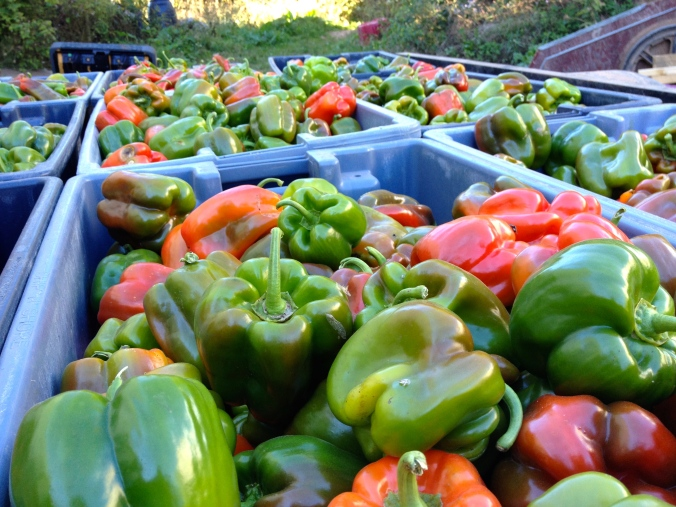 Quick! Bring in the peppers before the frost...