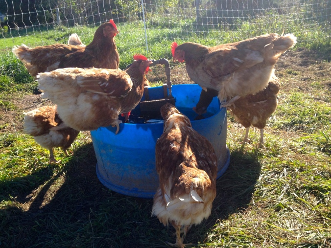 Laying hens, slacking off at the water cooler again