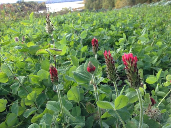 Crimson clover taking over in the fox field
