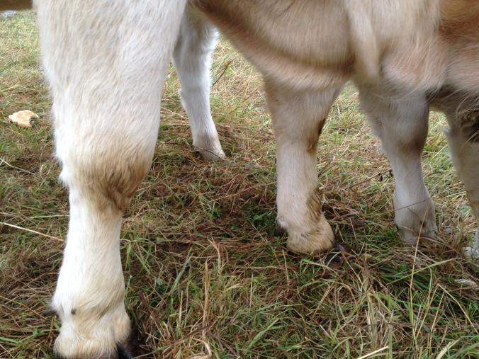 Muddy cow knees