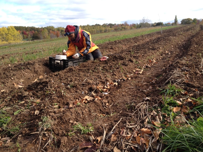 And the cycle continues... planting the new crop of garlic